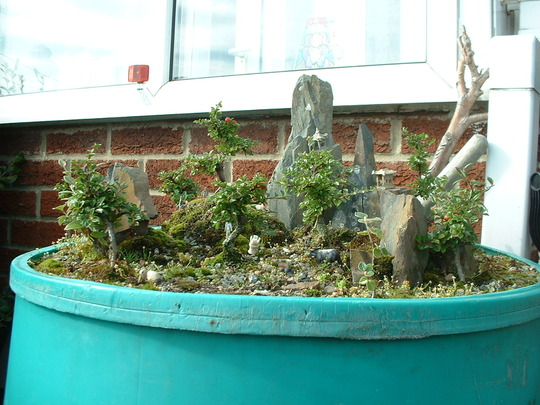 waterbut top garden (Mostly Cotoneaster horizontalis and other cotoneaster species)