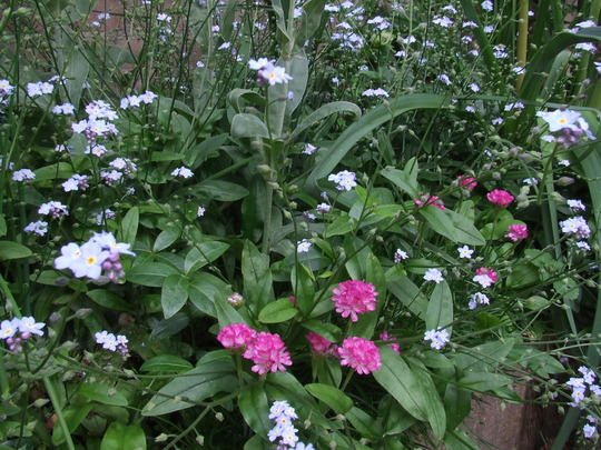 forget-me-nots and sea thrift