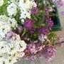 Purple and white sweet alyssum  (lobularia maritima)