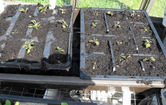 "20 Arabis "" Rose Delight"" Seedlings From Spritz  (Arabis alpina (Alpine Rock-cress))"