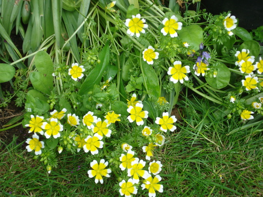 Poached Egg plant (Limnanthes douglasii (Poached egg plant))