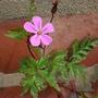 Herb_robert_wild_geranium