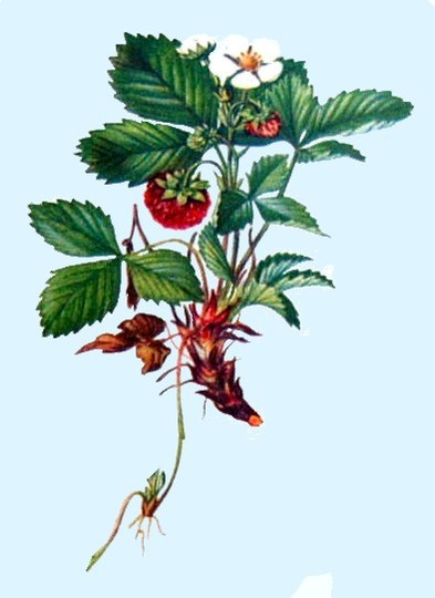 Fragaria vesca (Wild Strawberries) (Fragaria vesca (Wild Strawberries))