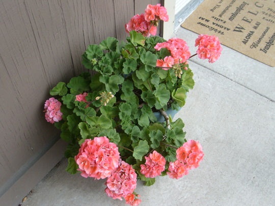 Another photo of the salmon pink geranium