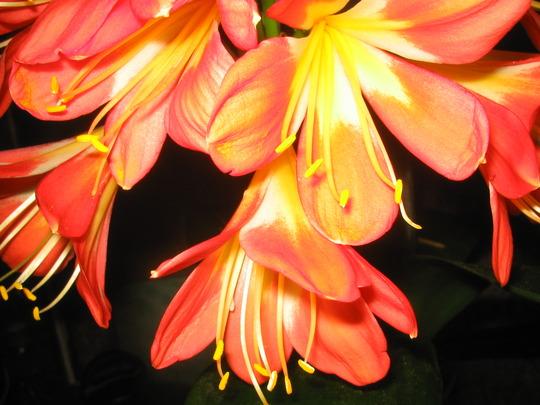 My Clivia in bloom again