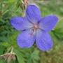 Geranium_johnson_s_blue_