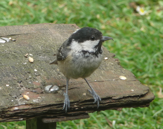 Coal tit for Sanbaz
