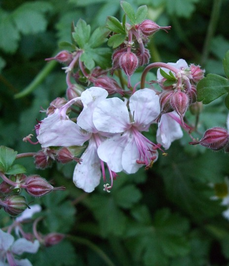 Geranium x cantabrigiense 'St Ola' (Geranium x cantabrigiense)