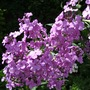 Hesperis matronalis (Hesperis matronalis (Sweet rocket))