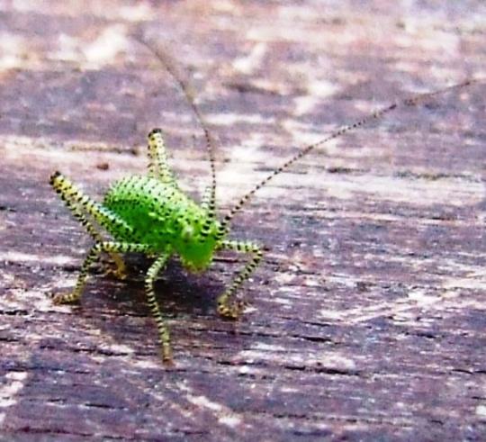 Baby Cricket