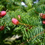 Spruce buds (Picea rubens (American Red Spruce))