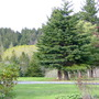 Picea rubens (American Red Spruce) (Picea rubens (American Red Spruce))
