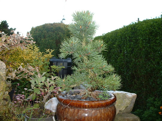 Bristle Cone Pine (Pinus aristata (Bristle Cone Pine))