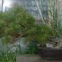 Scots_pine