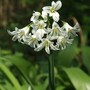Wild garlic (Allium ursinum)  (Allium ursinum)