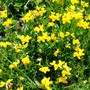 Birds-Foot Trefoil and Common Vetch