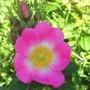 Rose in Shadow,  Rosa rubiginosa (Eglantine Rose) (Rosa rubiginosa)