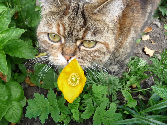Poppy with her namesake! (Papaver Cambrica.......Welsh Alpine Poppy)