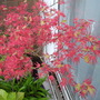 most beautiful,fabulously coloured, unknown little acer in pot about 10 years old