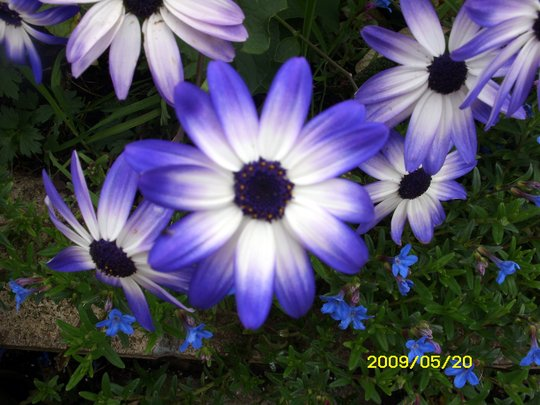 Cape Daisy (Arctotheca calendula (Cape Dandelion))