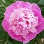 Peony 'Sorbet' (Paeonia officinalis (Double Peony))