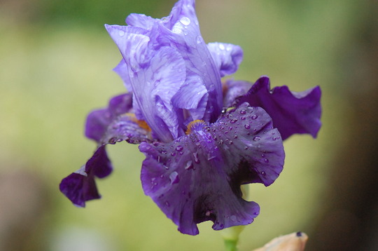 Iris 'Northwest Progress'