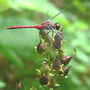 Dragonfly_ruby_meadowhawk_on_penstemon_seedpods_8_20_06_exc_crop