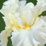 Iris 'Princess Bride'