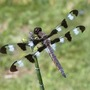 Dragonfly_twelve_spotted_skimmer_above_6_03_04_exc