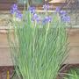 Siberian Iris (Iris Sibirca)