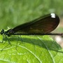 Damselfly_black_winged_fe_5_22_04_close_good