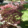 Japanese Maple (I beleive) (Acer)