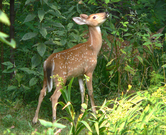 Fawn browsing back yard