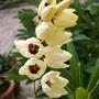 Ixia - Corn Lily (Ixia)