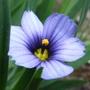 Sisyrinchium_blue_eyed_grass_3