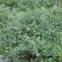 Mystery bush