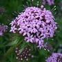 Phuopsis stylosa (Phuopsis stylosa)