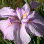 Dinnerplate Iris (Iris)