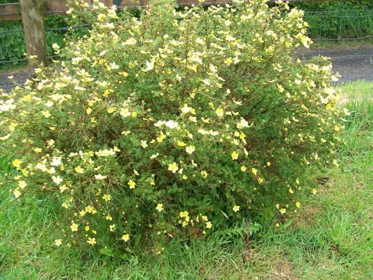 yellow potentilla fruticosa (potentilla fruticosa)