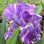 Iris Batik (Iris Batik)