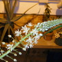 Sea Onion Bloom (Ornithogalum longibracteatum)
