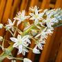 Sea onion Bloom 2 (Ornithogalum longibracteatum)