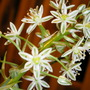 Sea Onion Bloom 3 (Ornithogalum longibracteatum)