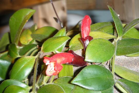 Little Lipsticks (Aeschynanthus radicans)