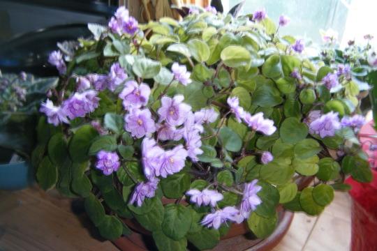 Mini still blooming away (Saintpaulia ionantha)
