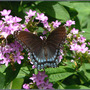 Red-spotted Purple on Garden Phlox (Phlox paniculata (Perennial phlox) unknown pink)