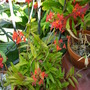 Epidendrum Red hybrid -  Reed Orchid (Epidendrum Red hybrid -  Reed Orchid)