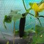 My 1st Cucumber........