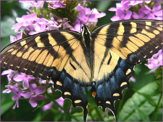 Tiger Swallowtail Female (Phlox paniculata (Perennial phlox) unknown pink)