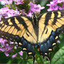 Tiger Swallowtail Female (Phlox paniculata (Perennial phlox) unknown pink)